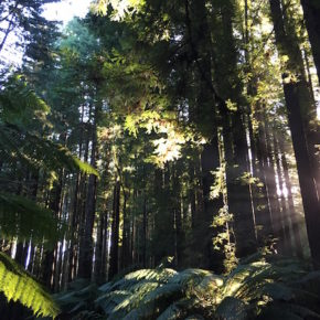 Californian Redwood Forest, The Otways, Great Ocean Road