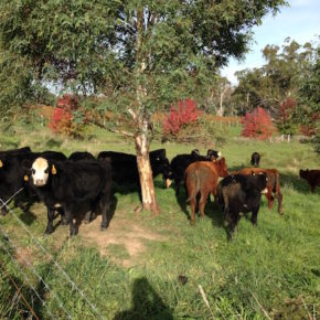 Cows at Hedberg Hill Wines, Orange Wine Tours